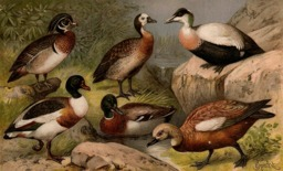 Six canards. Source : http://data.abuledu.org/URI/53ca7ead-six-canards