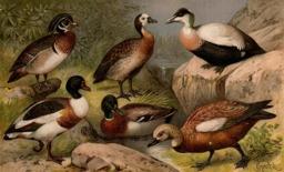 Six canards. Source : http://data.abuledu.org/URI/53ca7ead-six-canards