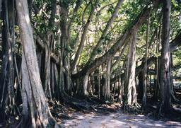 Sous-bois de figuiers des banians. Source : http://data.abuledu.org/URI/53b998ed-sous-bois-de-figuiers-des-banians