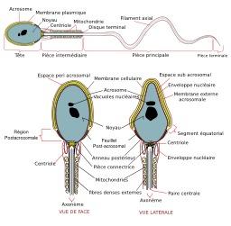 Spermatozoïde humain. Source : http://data.abuledu.org/URI/541d9f73-spermatozoide-humain