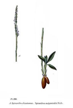 Spiranthe d'automne. Source : http://data.abuledu.org/URI/5063fc11-spiranthe-d-automne
