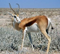 Springbok Namibia. Source : http://data.abuledu.org/URI/507fd49a-springbok-namibia
