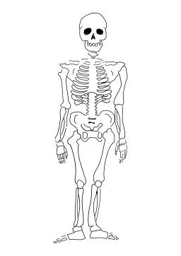 Squelette. Source : http://data.abuledu.org/URI/5027b25d-squelette