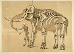 Squelette comparé de l'homme et de l'éléphant. Source : http://data.abuledu.org/URI/533fd77f-squelette-compare-de-l-homme-et-de-l-elephant