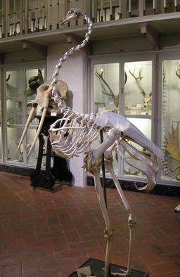 Squelette d'autruche. Source : http://data.abuledu.org/URI/5387a5bd-squelette-d-autruche