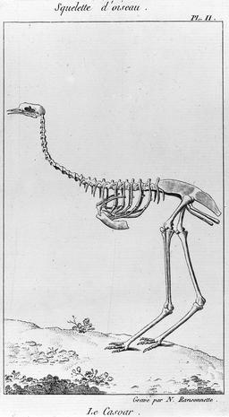 Squelette de casoar. Source : http://data.abuledu.org/URI/56c9ff49-squelette-de-casoar