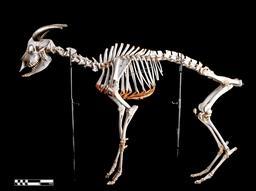 Squelette de chèvre. Source : http://data.abuledu.org/URI/59dd8a2b-squelette-de-chevre