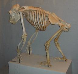 Squelette de chimpanzé. Source : http://data.abuledu.org/URI/502ec06a-squelette-de-chimpanze