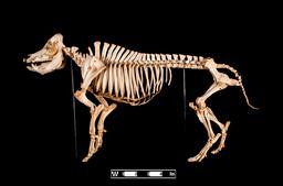 Squelette de cochon. Source : http://data.abuledu.org/URI/59dd8394-squelette-de-cochon