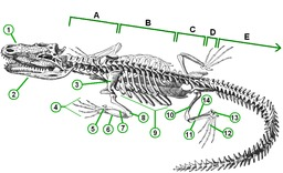 Squelette de crocodile. Source : http://data.abuledu.org/URI/56ca5442-squelette-de-crocodile