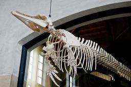 Squelette de dauphin à grand nez. Source : http://data.abuledu.org/URI/5856f31f-squelette-de-dauphin-a-grand-nez