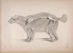 Squelette de glouton. Source : http://data.abuledu.org/URI/5301cc19-squelette-de-glouton