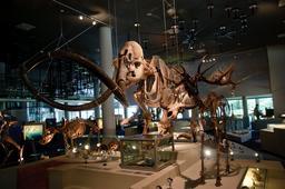 Squelette de mammouth. Source : http://data.abuledu.org/URI/584ff47a-squelette-de-mammouth