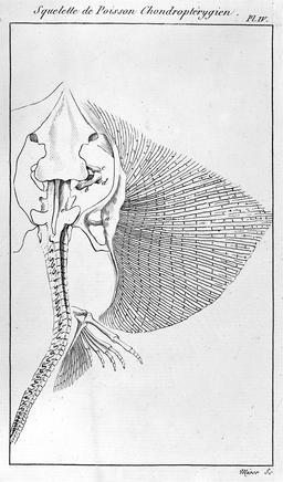 Squelette de poisson chondroptérygien. Source : http://data.abuledu.org/URI/56c9fec7-squelette-de-poisson-chondropterygien