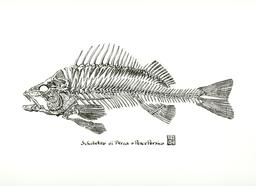 Squelette de poisson du Golfe Persique. Source : http://data.abuledu.org/URI/5555f7a4-squelette-de-poisson-du-golfe-persique