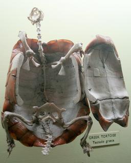 Squelette de tortue. Source : http://data.abuledu.org/URI/535283ef-squelette-de-tortue