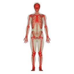 Squelette humain. Source : http://data.abuledu.org/URI/47f5a53f-squelette-humain