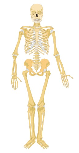 Squelette humain. Source : http://data.abuledu.org/URI/5382ed7e-squelette-humain
