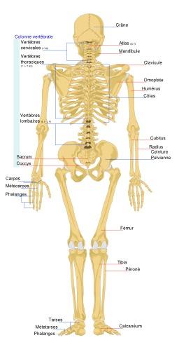 Squelette humain de dos. Source : http://data.abuledu.org/URI/5383ac58-squelette-humain-de-dos