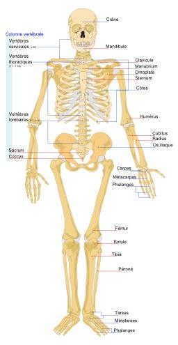 Squelette humain légendé. Source : http://data.abuledu.org/URI/5382f1d0-squelette-humain-legende