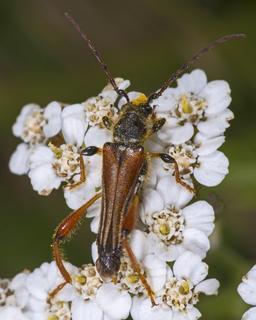 Stenopterus rufus butinant. Source : http://data.abuledu.org/URI/541569b4-stenopterus-rufus-butinant