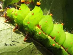 Stigmates de chenille. Source : http://data.abuledu.org/URI/55322633-stigmates-de-chenille