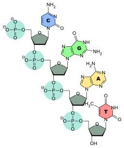 Structure d'un brin d'ADN. Source : http://data.abuledu.org/URI/50ce3408-structure-d-un-brin-d-adn