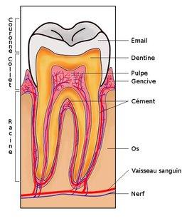 structure de dent. Source : http://data.abuledu.org/URI/5020c410-structure-de-dent