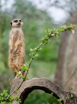 Suricate au Zoo de Gelsenkirchen. Source : http://data.abuledu.org/URI/54d00abf-suricate-au-zoo-de-gelsenkirchen