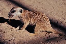 Suricate mangeant une grenouille en Namibie. Source : http://data.abuledu.org/URI/52d1b57b-suricate-mangeant-une-grenouille-en-namibie