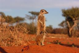 Suricate mère et enfant. Source : http://data.abuledu.org/URI/52d1b6c8-suricate-mere-et-enfant