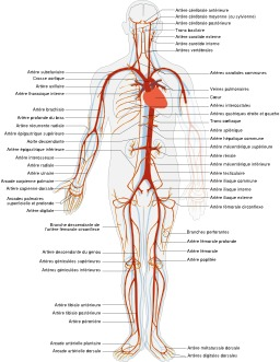Système artériel humain. Source : http://data.abuledu.org/URI/5382f8b1-systeme-arteriel-humain