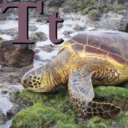 T pour la Tortue. Source : http://data.abuledu.org/URI/533204ab-t-pour-la-tortue