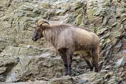 Tahr de l'Himalaya au zoo de Prague. Source : http://data.abuledu.org/URI/58d02754-tahr-de-l-himalaya-au-zoo-de-prague