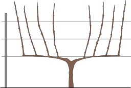 Taille de la vigne, en cordon de Royat. Source : http://data.abuledu.org/URI/50b52ec1-taille-de-la-vigne-en-cordon-de-royat