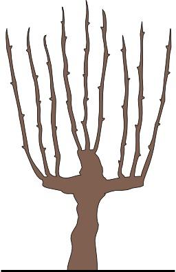 Taille de la vigne, nommée Guyot. Source : http://data.abuledu.org/URI/50b52e69-taille-de-la-vigne-nommee-guyot