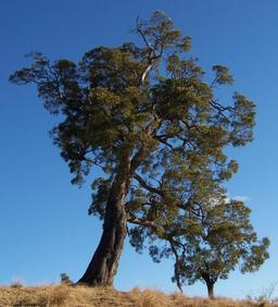 Tamarin des hauts. Source : http://data.abuledu.org/URI/521f9792-tamarin-des-hauts
