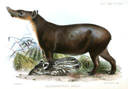 Tapirs. Source : http://data.abuledu.org/URI/52ed708b-tapirs