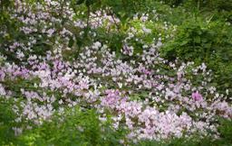 Tapis de cyclamen en fleurs. Source : http://data.abuledu.org/URI/5436b9df-tapis-de-cyclamen-en-fleurs