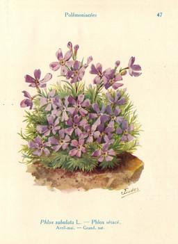 Tapis de phlox sétacé de jardin. Source : http://data.abuledu.org/URI/53ad6461-tapis-de-phlox-setace-de-jardin