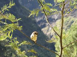 Tarier de La Réunion. Source : http://data.abuledu.org/URI/521a1255-tarier-de-la-reunion