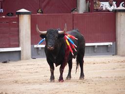 Taureau dans l'arène. Source : http://data.abuledu.org/URI/53ae9603-taureau-dans-l-arene