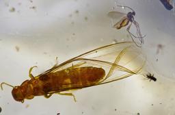 Termite dans du copal de Madagascar. Source : http://data.abuledu.org/URI/52d1d663-termite-dans-du-copal-de-madagascar