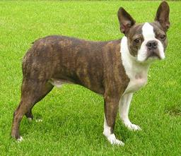 Terrier de Boston. Source : http://data.abuledu.org/URI/5160d00a-terrier-de-boston
