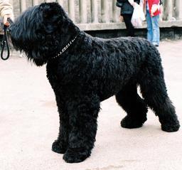 Terrier noir de Russie. Source : http://data.abuledu.org/URI/5160ceff-terrier-noir-de-russie