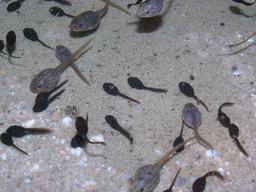 Têtards de grenouilles et de crapauds. Source : http://data.abuledu.org/URI/5351a487-tetards-de-grenouilles-et-de-crapauds