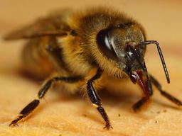 Tête d'abeille. Source : http://data.abuledu.org/URI/50394311-tete-d-abeille