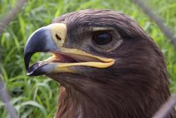 Tête d'aigle. Source : http://data.abuledu.org/URI/52b9c4a8-tete-d-aigle