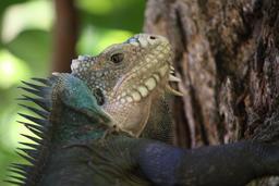 Tête d'iguane des Petites Antilles. Source : http://data.abuledu.org/URI/52b868d2-tete-d-iguane-des-petites-antilles