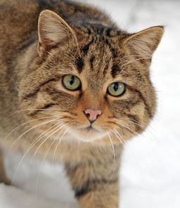 Tête de chat sauvage. Source : http://data.abuledu.org/URI/564ce175-tete-de-chat-sauvage